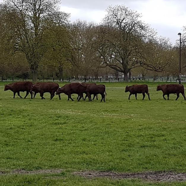 Cows, Cambridge, Coronavirus