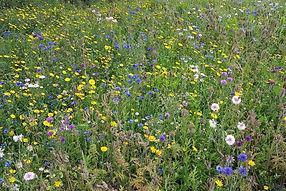 wild flower meadow 1.jpg