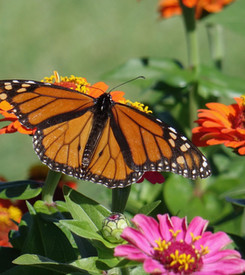 Monarch in the zinnias