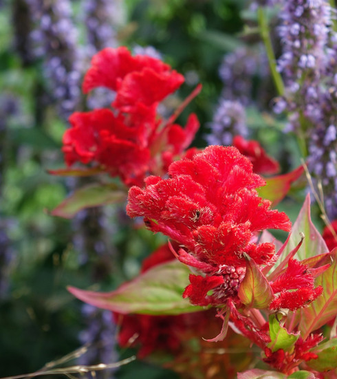 Red blooms