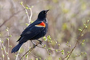 Red Winged Blackbird.jpeg