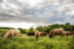pasture cattle