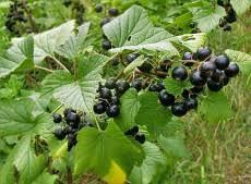 American black currant (Ribes americanum)