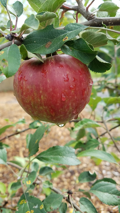 Apple (Malus)