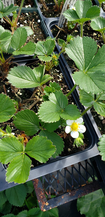 Alpine strawberries (Fragaria vesca)