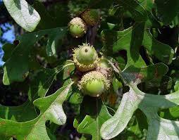 Burr Oak (Quercus macrocarpa)