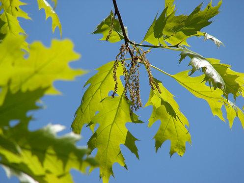 Northern Red Oak (Quercus rubra)