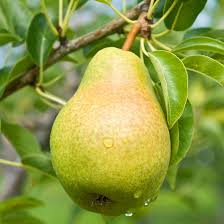 Pear (Pyrus)