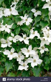 Kousa Dogwood (Cornus kousa var. chinensis)