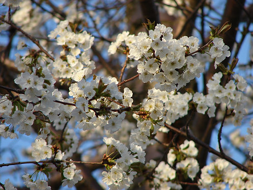 Cherry (Prunus)