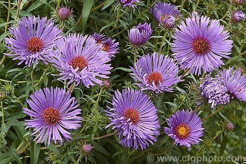 New England Aster (Symphyotrichum novae-angliae syn. Aster novae-angliae)