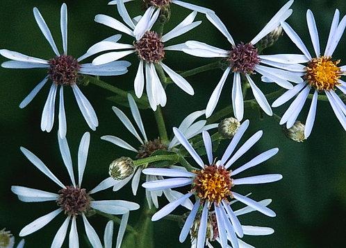 Bigleaf Aster (Eurybia macrophylla syn. Aster macrophyllus)