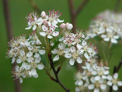 Red Chokeberry (Photinia pyrifolia syn. Aronia arbutifolia)