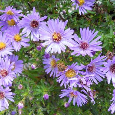 Smooth Aster (Symphyotrichum laeve syn. Aster laevis)