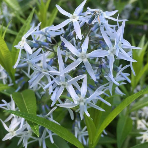 Bluestar (Amsonia tabernaemontana var. salicifolia)