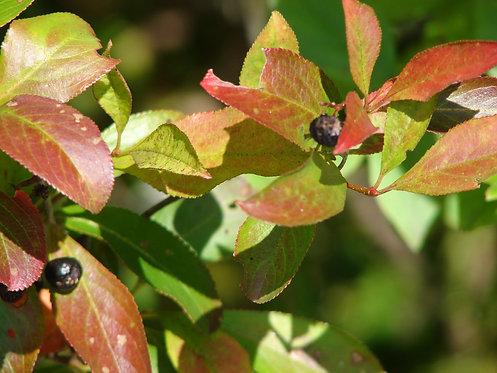 Black Chokeberry (Photinia melanocarpa syn. Aronia melanocarpa)