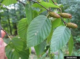 Sweet Birch (Betula lenta)