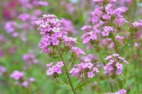 Jeana Garden Phlox (Phlox paniculata 'Jeana')