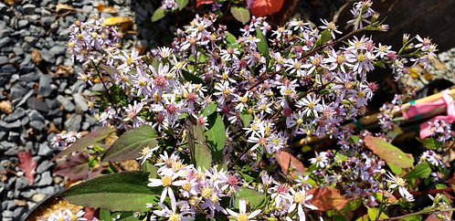 Heart-leaved Aster (Symphyotrichum cordifolium syn. Aster cordifolius)