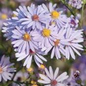 Skyblue Aster (Symphyotrichum oolentagniense syn. Aster azureus)
