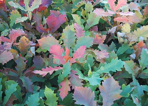 Swamp White Oak (Quercus bicolor)