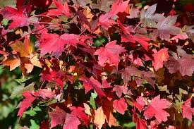 'Redpointe' Red Maple (Acer rubrum)
