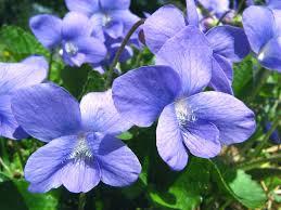 Wild Violet (Viola sororia)