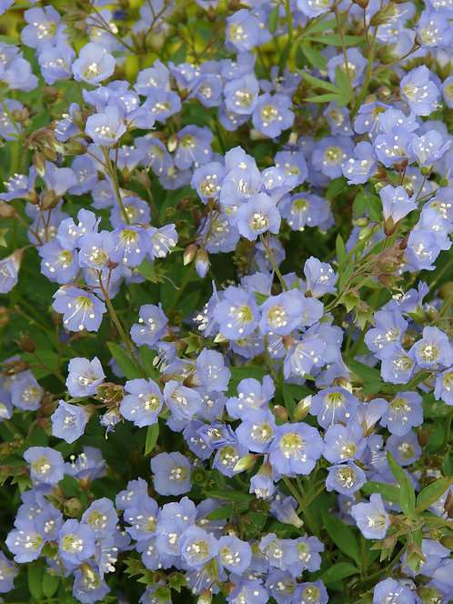 Spreading Jacob's-ladder (Polemonium reptans)
