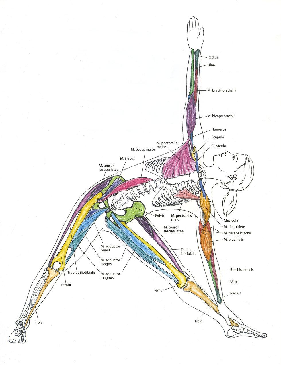 Anatomie Faszien Altina.jpg