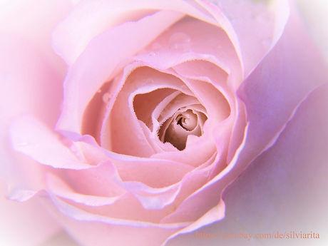 Rose Frauen.jpg