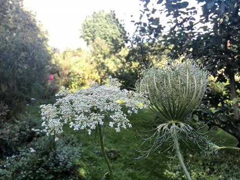 Wilde Möhre im Garten / Foto Anke Fricke