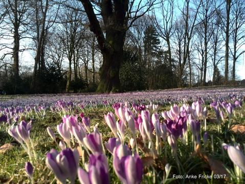 Krokusblüte Hammer Park