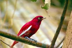 A Red Pompadour Cotinga