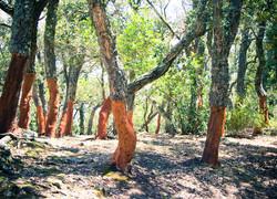 Cork oaks with bark harvested