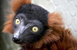 Red Maki Lemur