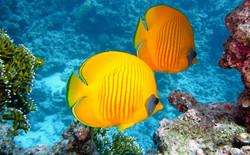 'Lemon' Butterfly Fish
