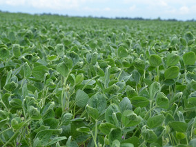 What makes Dicamba move?