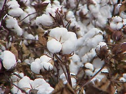 EPA proposes Dicamba for GE cotton and soybeans...