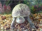 Ellie Jr the Turtle