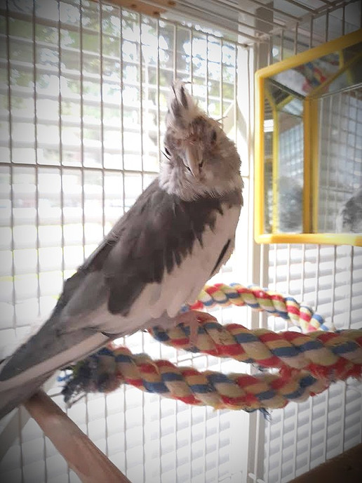 Louie the Cockateel - doing a lot better