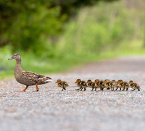 Duck and her ducklings