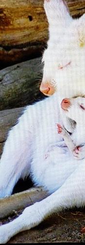 Kangaroo and her infant Australia.jpg