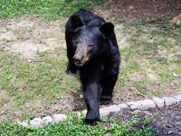 Mama Bear After I healed her