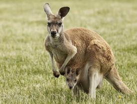 Kangaroos in Australlia