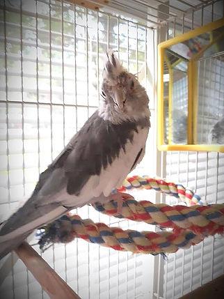 Remote healing a cockateel.jpg