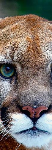 mountain lion healing.png