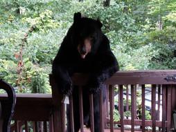 Tobie - Black Bear, N.C.