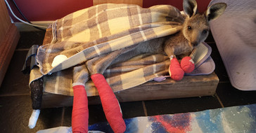Work with kangaroos & other animals injured by fires in Australia 2019