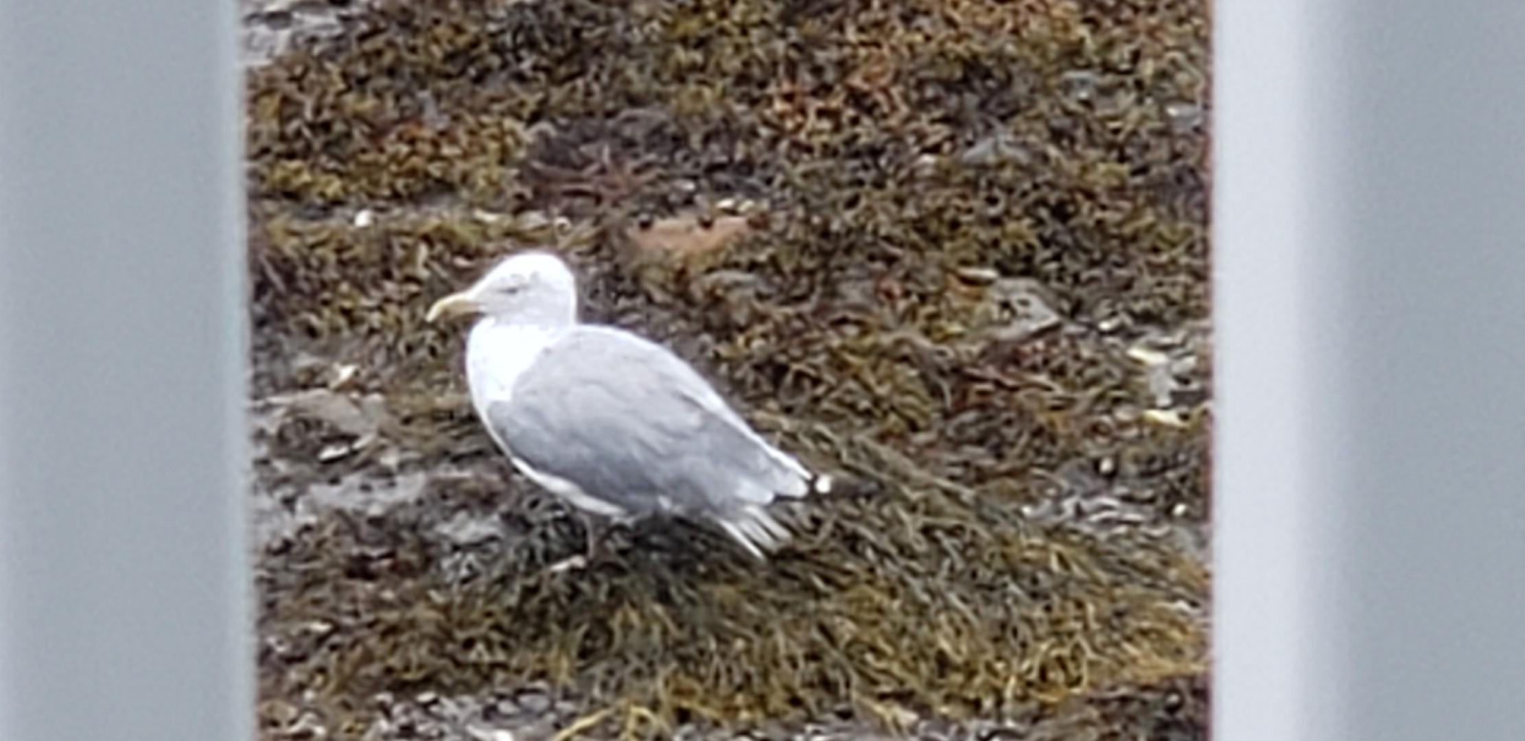 Seagull I helped 9-2-2020