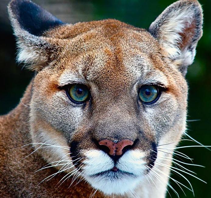 Mountain Lion, North Carolina